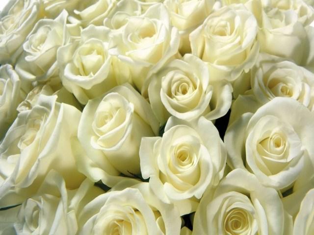 Banho de rosas brancas e manjericão para abrir os caminhos